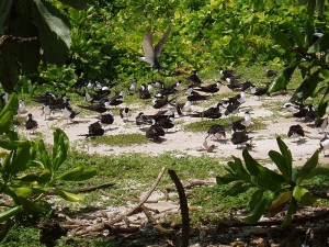 Chagos Archipelago fåglar