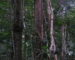 Daintreeregnskogen
