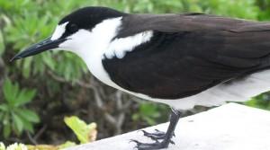 En Sottärna på Gloriesusöarna